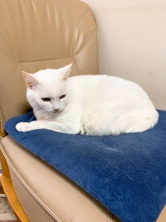 椅子の上でくつろぐ真っ白な猫ちゃん