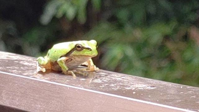 雨上がりのカエル